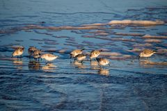Sanderlings su una spiaggia Immagini Stock
