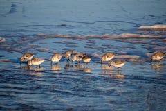 Sanderlings su una spiaggia Fotografie Stock
