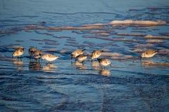 Sanderlings sur une plage Images stock