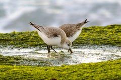 Sanderlingshart royalty-vrije stock afbeelding