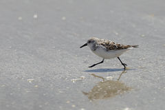 Sanderlingspring på en strand - Bolivar halvö, Texas arkivbild