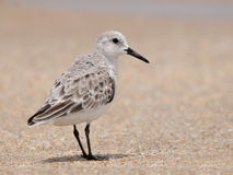 Sanderlingsstrandloper (alba Calidris stock afbeeldingen