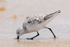 Sanderlingsstrandloper (alba Calidris Royalty-vrije Stock Afbeeldingen