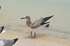 Sanderlingsvogel die zich in Ondiep Water op een Strand bevinden royalty-vrije stock foto's