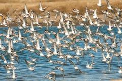 Sanderllings i Zachodni Sandpipers Fotografia Royalty Free
