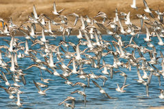 Sanderllings and Western Sandpipers. Flock of Western Sandpipers and Sanderlings in Flight Over Water Royalty Free Stock Photography