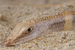 Sandfish Royalty Free Stock Photography