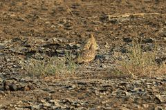 Sandgrouse Fotos de Stock