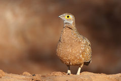 Sandgrouse Stock Photography