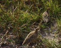 Sandgrouse de Burchell Fotos de Stock Royalty Free