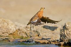 Sandgrouse in flight Royalty Free Stock Photos