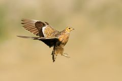 Sandgrouse in flight Stock Images