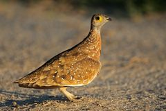 Sandgrouse manchado Imagem de Stock Royalty Free