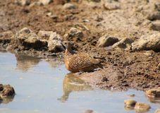 Sandgrouse, Namaqua - African Gamebird Royalty Free Stock Photography