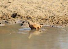 Sandgrouse, Namaqua - African Spots Stock Image