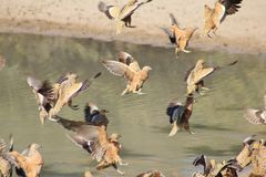 Sandgrouse, Namaqua - Wild Birds from Africa - Landing Gear and Flaps Down Stock Images