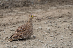 Sandgrouse. A sandgrouse of South Africa hanging out in some sand Stock Photos