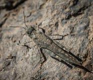 Sandheuschrecke Sphingonotus-guanchus Gran Canaria Lizenzfreie Stockfotos