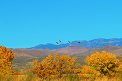 Sandhil Cranes at Bosque del Apache Royalty Free Stock Photos