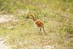 Sandhill在沼泽的起重机小鸡在奥兰多沼泽地停放 免版税库存图片