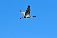 Sandhill在飞行中起重机鸟 图库摄影