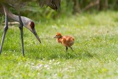 Sandhill起重机和婴孩小鸡 免版税库存照片