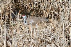 Sandhill起重机坐在沼泽草的巢 免版税库存图片