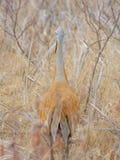 sandhill起重机的后侧方伪装与在早期的春天-采取的棕色草在Crex草甸野生生物地区在没有 免版税库存照片