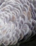 Sandhill起重机羽毛背景 免版税库存照片
