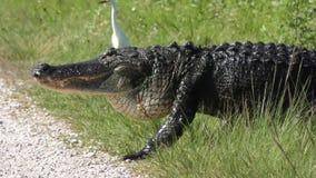 Sandhill起重机通过横渡鳄鱼惊吓了在沼泽地 股票录像