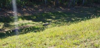 Sandhill żuraw na wzgórzu zdjęcie stock