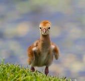 Sandhill żurawia kurczątko Zdjęcie Stock