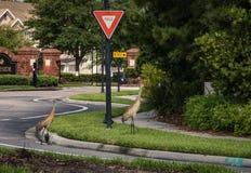 Sandhill żurawie Krzyżuje ulicę Fotografia Royalty Free