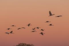 Sandhill żurawie przy wschodem słońca Fotografia Royalty Free
