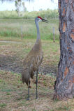 sandhill крана птицы Стоковые Фото