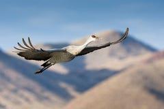 sandhill полета крана Стоковые Изображения RF