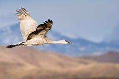 sandhill полета крана Стоковые Фотографии RF