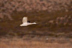 sandhill полета крана Стоковые Изображения