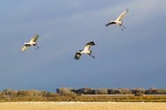 3 крана Sandhill летают над охраняемой природной территорией Bosque del апаша Национальн на восходе солнца, около Сан Антонио и S Стоковые Изображения RF