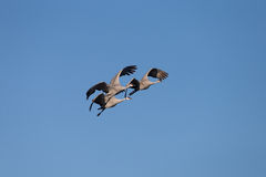 Sandhill Crain flock in flight Royalty Free Stock Photography