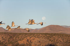 Sandhill Crain flock in flight Royalty Free Stock Images