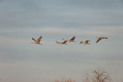 Sandhill Crain flock in flight stock images
