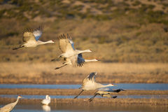 Sandhill Crain flock in flight stock photo