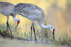 Sandhill Crane Stock Photography