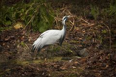 Sandhill CraneSandhill Crane stands in a wooded brush. royalty free stock images