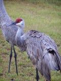 Sandhill Crane. In Florida royalty free stock images