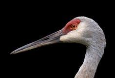 Sandhill crane Royalty Free Stock Photography