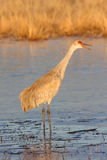 Sandhill Crane Royalty Free Stock Photography