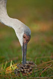 Sandhill crane. Inspecting a pine cone for insects Royalty Free Stock Images