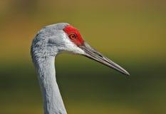 Sandhill crane Stock Photography